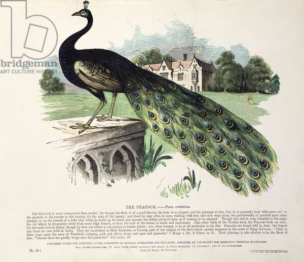 Peacock (Pavo Cristatus) (colour litho)