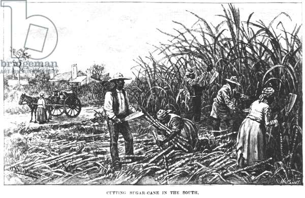 Cutting Sugar Cane in the South, from 'Harper's Encyclopaedia of American History', engraved by McCann (engraving) (b&w photo)