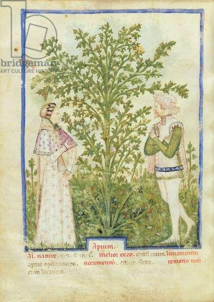 Nouv Acq Lat 1673 fol.28v Celery, from 'Tacuinum Sanitatis', c.1390-1400 (vellum)