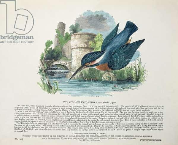 Common Kingfisher (Alcedo Ispida) (colour litho)