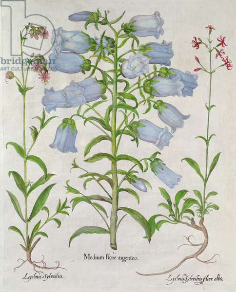 Medium Flore Argenteo, various flowers from the Lychnis species, including the Canterbury Bell and Ragged Robin