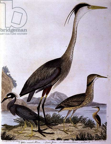 Herons, engraved by I. G. Marnicke (coloured engraving)