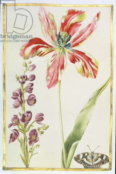Tulip, Stocks and Butterfly, c.1675 (gouache on vellum)