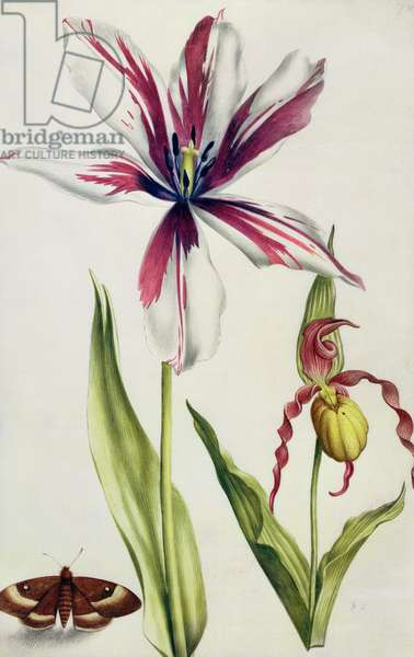 Orchid, Tulip and Butterfly, c.1675 (gouache on vellum)