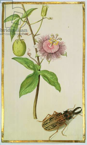 Exotic Plant and Beetle, c.1675 (gouache on vellum)