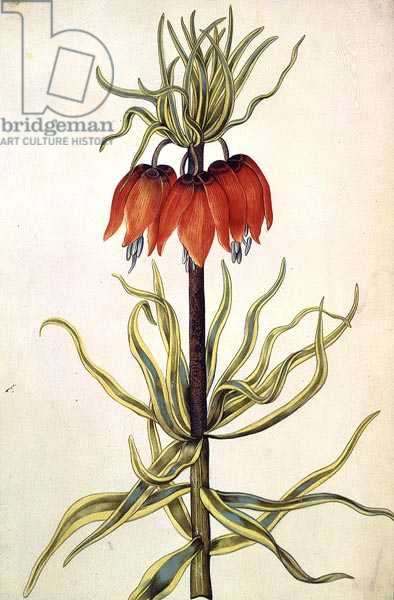 Fritilleria, c.1675 (gouache on vellum)
