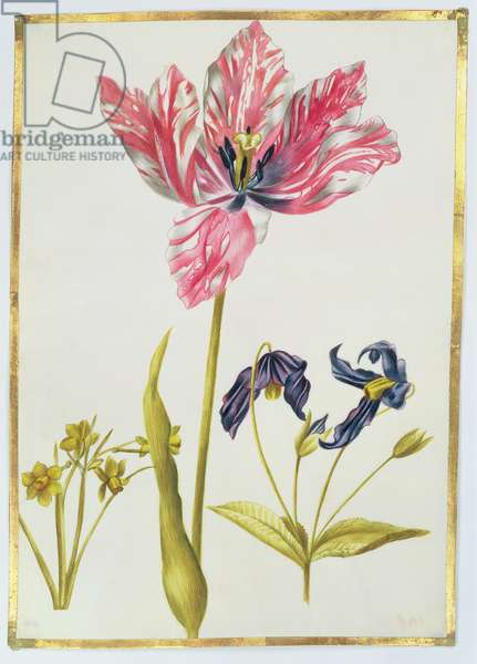 Tulip and Daffodil, c.1675 (gouache on vellum)