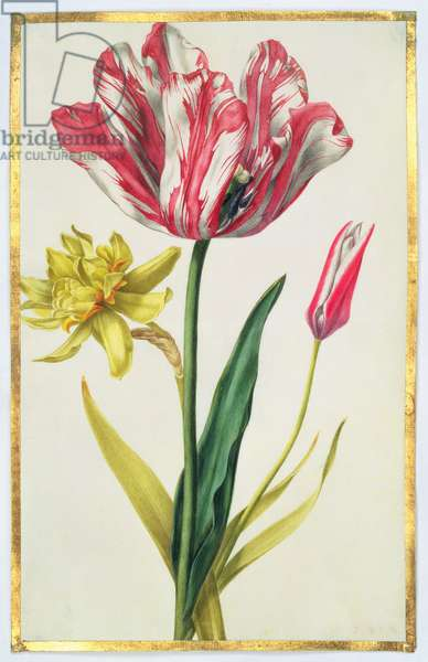Daffodil and Tulip, c.1675 (gouache on vellum)