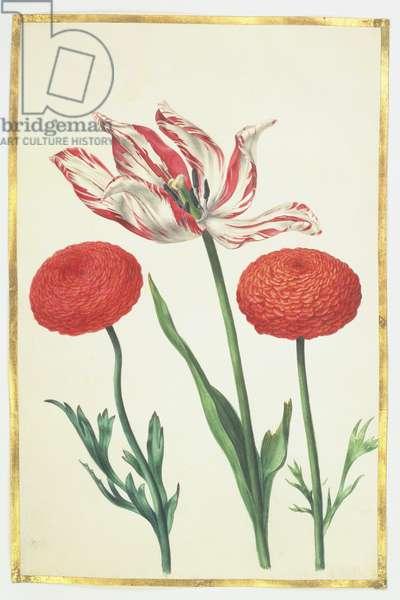 Tulip and Dahlias, c.1675 (gouache on vellum)