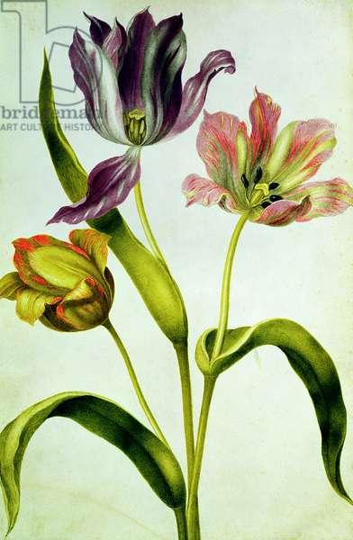 Tulips, c.1675 (gouache on vellum)