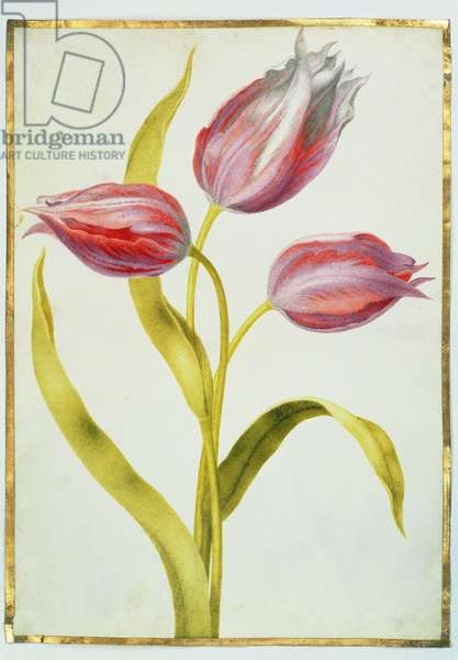 Tulips, c.1675 (gouache on vellum)
