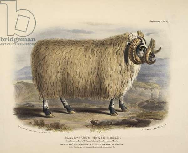 Black faced heath breed