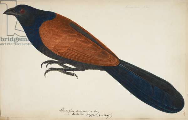 "Greater Coucal, ""Centropus sinensis""