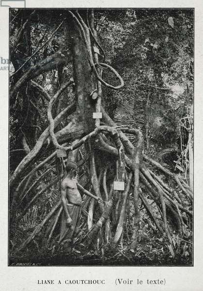 The Roots of the Rubber Tree (Liane a Caoutchouc), illustration from 'Le Congo Belge', 1909 (b/w photo)