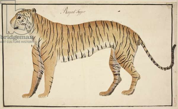 A royal tiger from the Serfagee of Tanjore's collection, 1802 (w/c & gouache on paper)