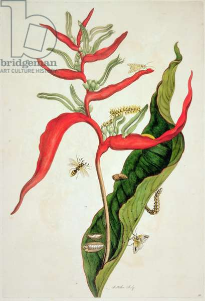 Insects: Pl.54, from 'Metamorphosis Insectorum Surinamensium', 1705 by Maria Sibilla Merian (1647- 1717)