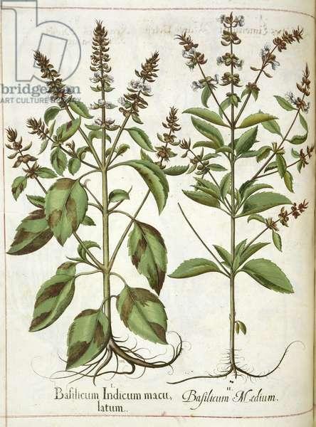 Basil, from 'Hortus Eystettensis', 1613 (coloured engraving)