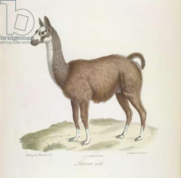 Lama mâle, from Histoire Naturelle des Mammifères (colour litho)