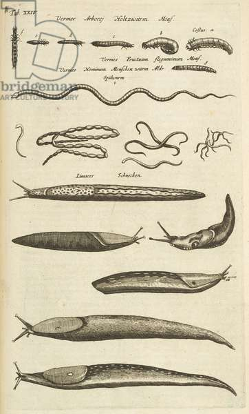 Tab XXIV, Slugs and Worms, Illustration from from 'Historiæ naturalis de quadrupetibus', 1657 (engraving)