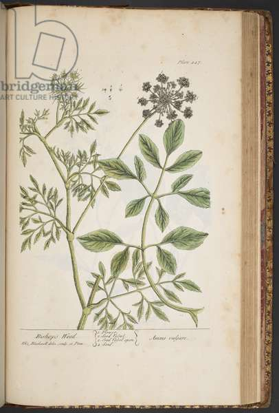 Plate 447, Bishop's Weed, from 'A Curious Herbal', 1737 (coloured engraving)