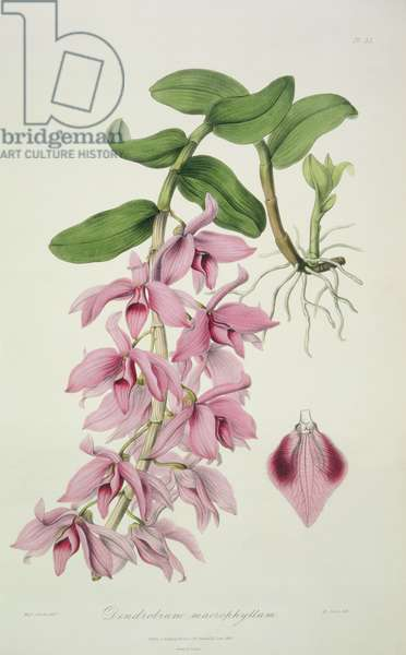 """Orchid: Dendrobium macrophyllum from """"Sertum Orchidaceum"""", 1838 by John Lindley"""