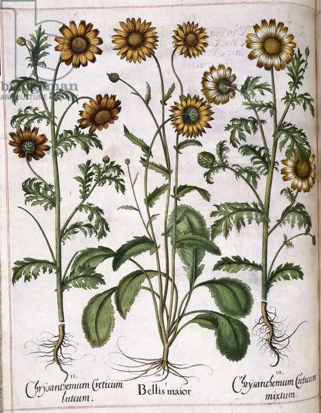 Chrysanthemum, from 'Hortus Eystettensis', 1613 (coloured engraving)