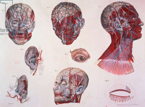1899.h.24.(vol II) Figures 1-8.Tab XXV: Anatomical Diagram of the Head, from `Planches Anatomiques du Corps Humains', Paris, 1826, by Fransesco C. Antommarchi