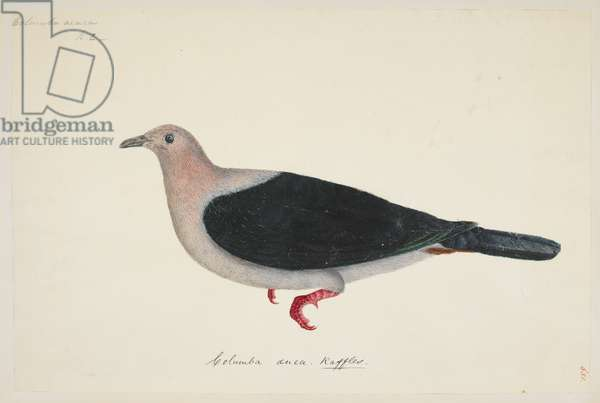 "Green Imperial Pigeon, ""Ducula aenea"" 