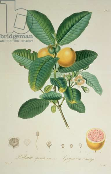 Guava Tree: Wild Guava, Psidium pomiferum (pl.22) from 'Flore des Antilles' (vol 2), 1808-27 by F.R. de Tussac