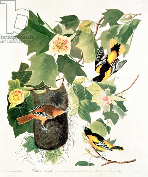 Tulip-Tree: Liriodendron tulipifera, from 'Birds of America', 1827