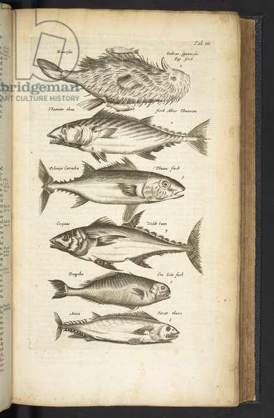 Tab III, Tunas, Illustration from 'Historiæ naturalis de quadrupetibus', 1657 (engraving)