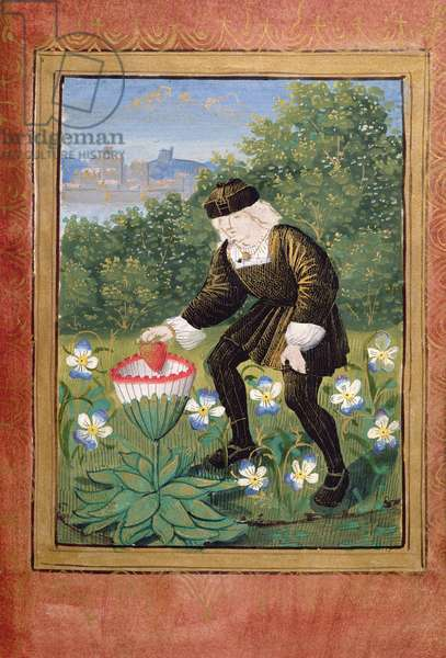Stowe 955 ff.5v-6 Miniature of Pierre Sala dropping 'his' heart into a marguerite, from the 'Petit Livre d'Amour' by Pierre Sala, c.1500 (vellum) (see also 20290)
