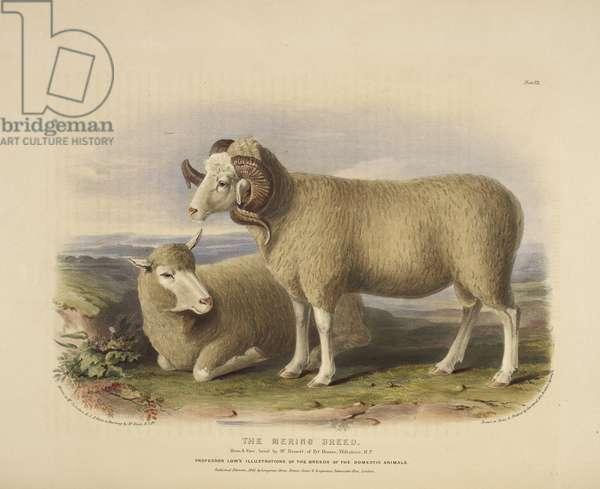 The Merino breed