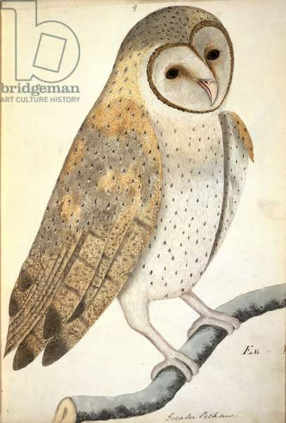 NHD-30 (9) Owl, entitled in latin 'Greater Pechaux', from the collections of the East India Library, Vol.V, artist unknown, painting watermarked 1796, (w/c)