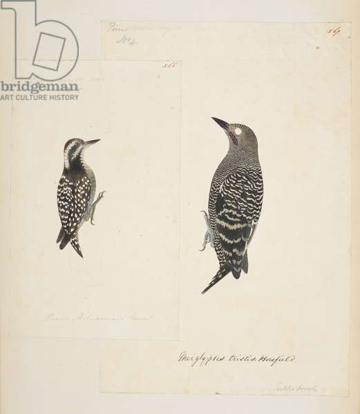 "566: Sunda Woodpecker, ""Dendrocopos moluccensis""