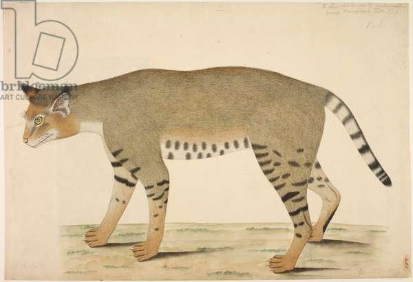Jungle Cat 'Felis chaus'