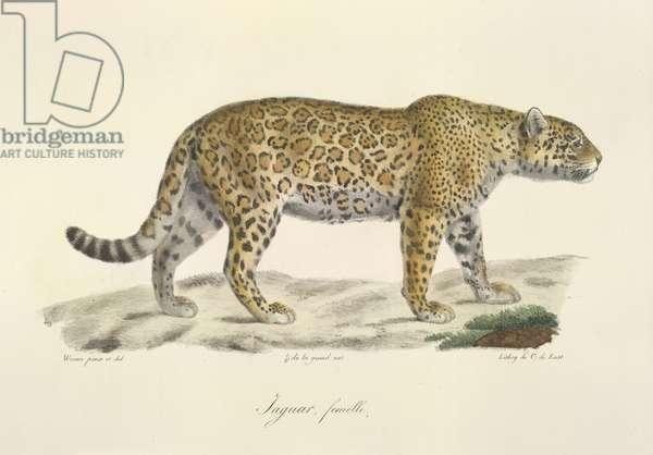Jaguar, femelle, from Histoire Naturelle des Mammifères (colour litho)