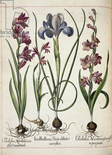 Gladiolus and iris, from 'Hortus Eystettensis', 1613 (coloured engraving)