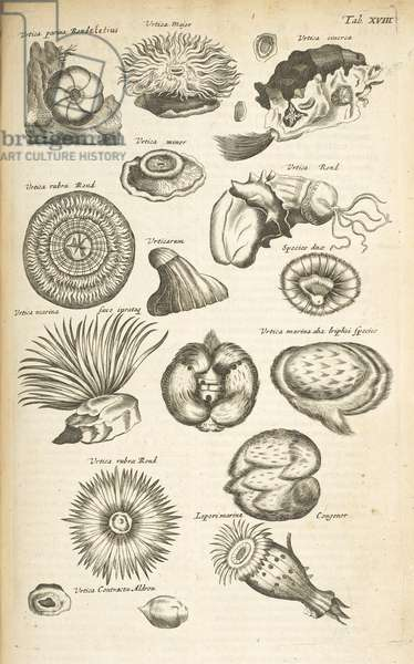 Tab XVIII, Marine life, Illustration from from 'Historiæ naturalis de quadrupetibus', Vol 2, 1657 (engraving)