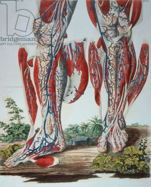 1899.h.24.(vol II) Figure III, Tab.IX Anatomical Diagram of Legs, from `Planches Anatomiques du Corps Humain', Paris, 1826, by Francesco C. Antommarchi
