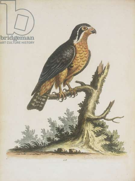 The little black and orange coloured Indian hawk