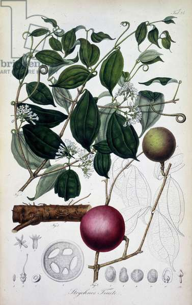 "Specimen de strychnos. Le jus de cette plante est utilisee comme poison. Planche 24 tiree de """"Rumphia, sive commentationes botanicae, imprimis de plantis Indiae orientalis"""" par Carl Ludwig Blume 1835-1848 The British Library Institution Reference: Shelfmark ID: 725.I.3-5. Vol.1 Strychnos Tieute, c1835-c1848. Plate 24 from """"Rumphia, sive commentationes botanicae, imprimis de plantis Indiae orientalis....."""", a work on the plants of Indonesia, by Carl Ludwig Blume. (Leiden 1835-48). ©The British Library Board/Leemage"