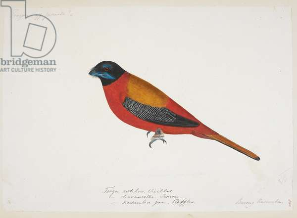 "Scarlet-Rumped Trogon, ""Harpactus duvaucelli""