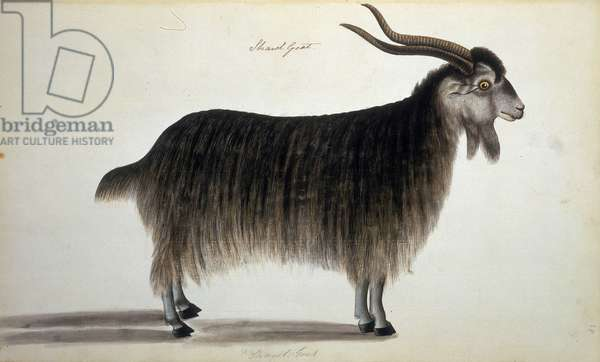 Chevre au poil long. Planche d'histoire naturelle, 1794 - 1835 The British Library Institution Reference: Shelfmark ID: nhd 33 Shawl Goat, c1794-c1835. ©The British Library Board/Leemage