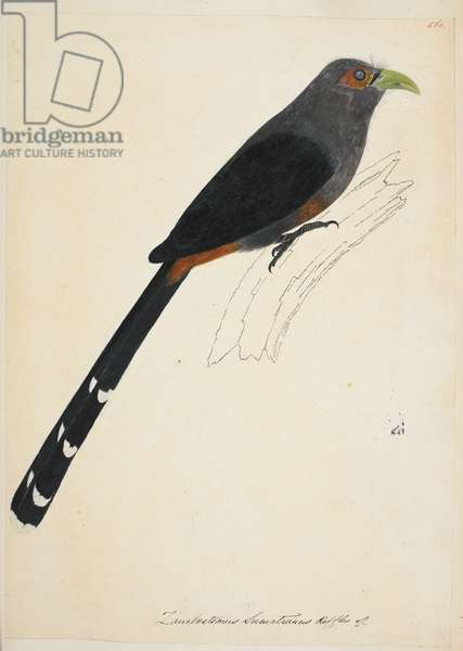 "Chestnut-Bellied Malkoha, ""Phaenicophaeus sumatranus""