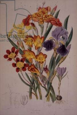 """Iris: Germanica and other related plants from the Iridaceae family including Crocus, Gladiolus, Iris pseudacorus (Yellow water lily) and Sparaxis tricolor (Harlequin flower), from """"Illustrations of the Natural Orders of Plants"""" by Elizabeth Twining (1805-89)"""