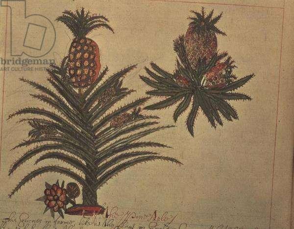 Sloane 4013 f.16v Pineapple trees from 'Descriptions of Indian Plants', 1600-25 (vellum)
