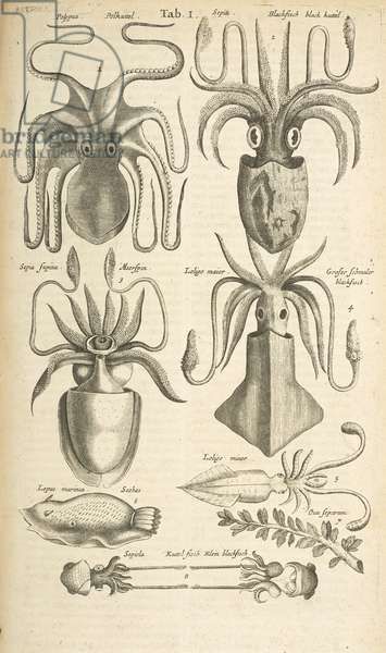 Tab I, Octopus, Illustration from from 'Historiæ naturalis de quadrupetibus', 1657 (engraving)