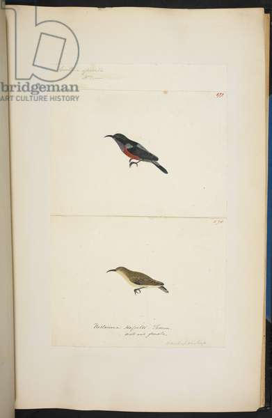 "(577): Purple-Throated Sunbird, ""Nectarinia sperata, Leptocoma sperata"" 