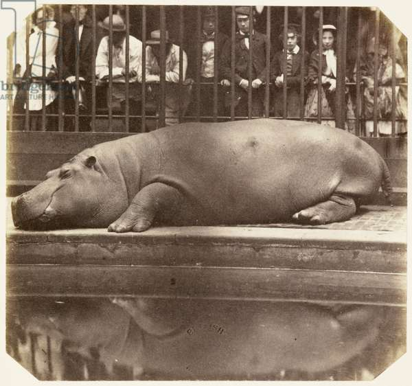 The hippopotamus at the Zoological Gardens, Regent's Park, London, 1852.